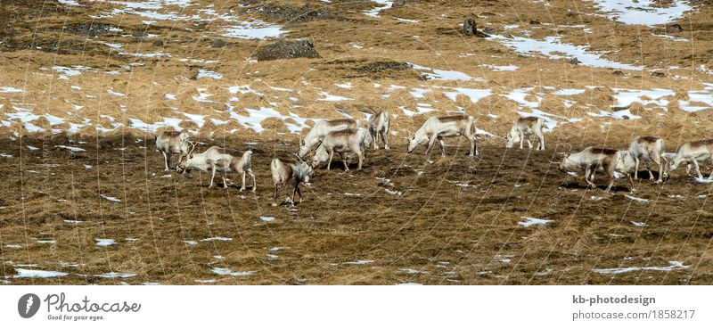 Herd of reindeers in Iceland Vacation & Travel Tourism Adventure Far-off places Winter Wild animal Reindeer Jump Mammal Colour photo Exterior shot