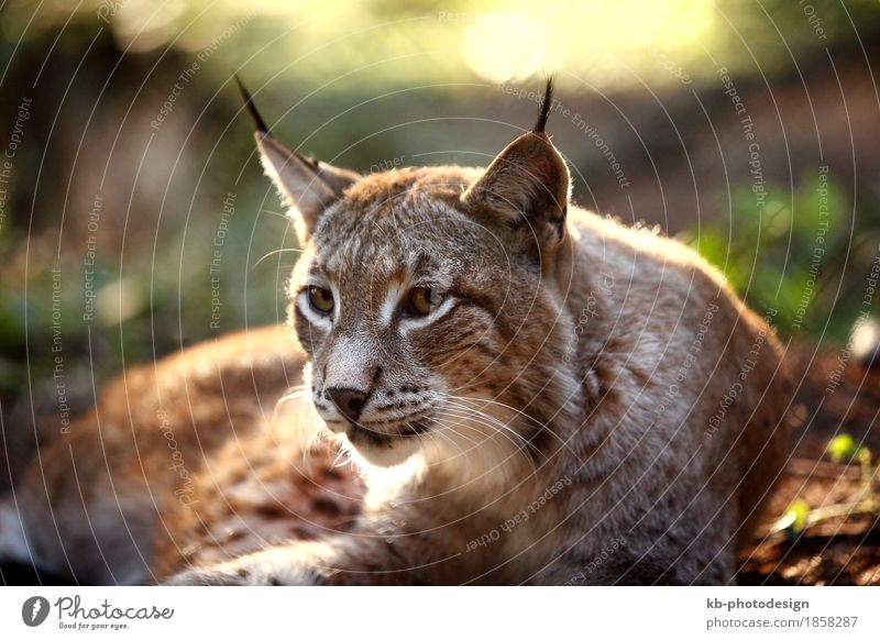 Male lynx in the forest Zoo Wild animal Lynx Feeding Listening animals beard hair big big cat booty brown caught Eurasian For mammal meadow protection strong