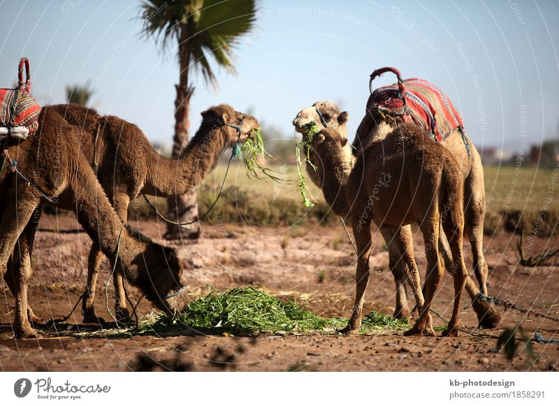 Several dromedaries in the West Sahara Vacation & Travel Tourism Adventure Safari Dromedary desert Camel camel riding ride palm palms morocco Fez marrakech