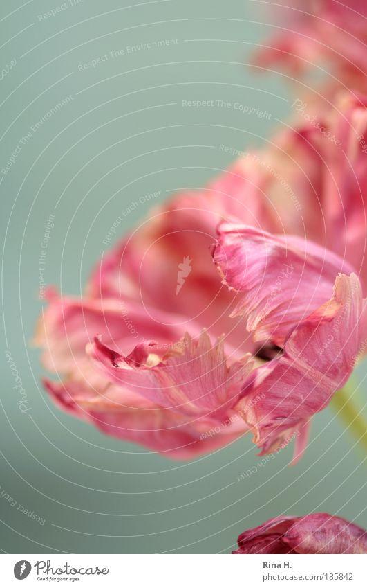 Flower Plant Calm Colour Style Blossom Pink Elegant Lifestyle Esthetic Romance Authentic Joie de vivre (Vitality) Blossoming To enjoy Tulip