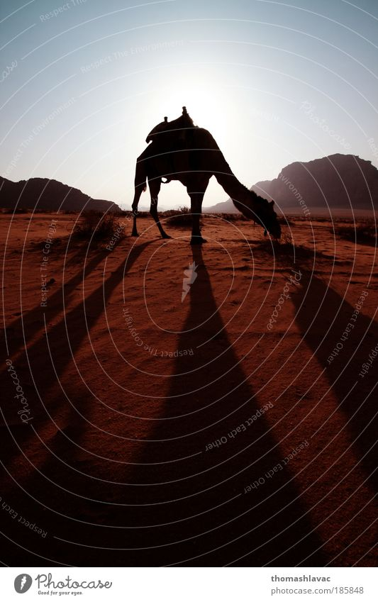 Wadi Rum desert Nature Sky Red Vacation & Travel Animal Mountain Sand Landscape Hiking Environment Rock Adventure Desert Sunset Camel Dawn