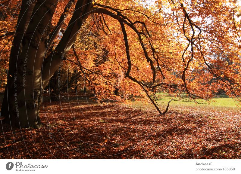 Nature Tree Plant Red Forest Autumn Garden Park Landscape Environment Autumn leaves October Beech tree Nature reserve Autumnal Autumnal weather