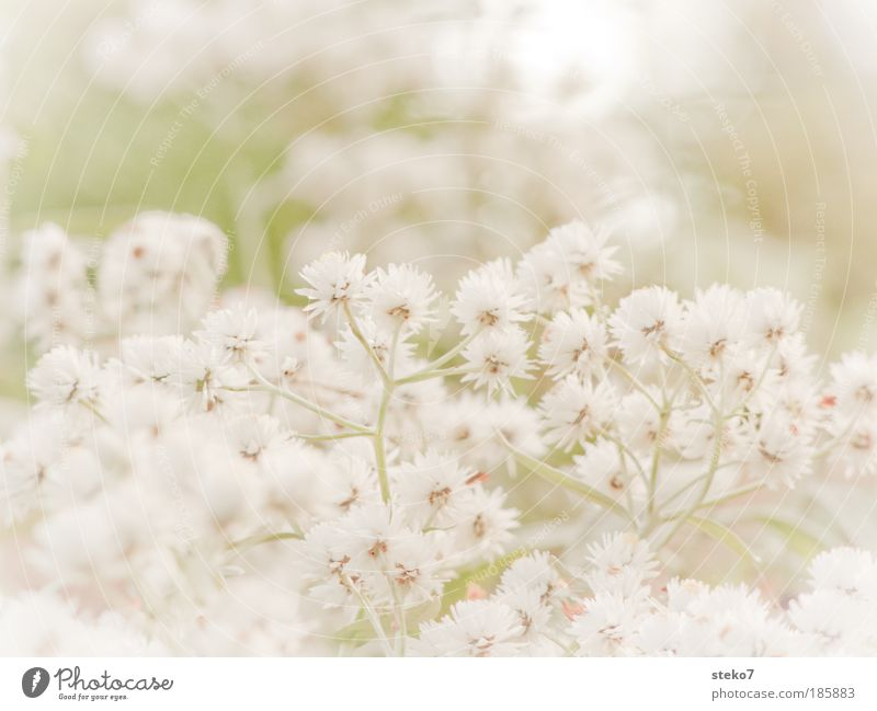 White Flower Plant Autumn Blossom Landscape Seasons Macro (Extreme close-up) Soft Delicate Natural Fragrance Delicate Lovely Dismissive Anticipated