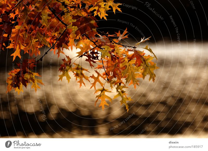 Happy Birthday, Photocase Environment Nature Plant Water Sunlight Autumn Tree Leaf Wild plant Garden Park Glittering Brown Yellow Gold Black Beautiful Idyll