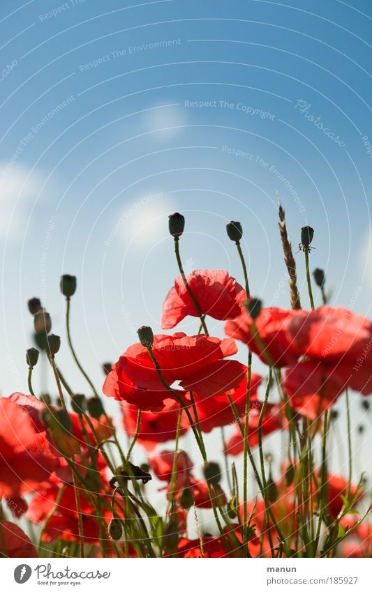 Poppy Nature Sky Red Summer Blossom Spring Herbaceous plants Poppy blossom