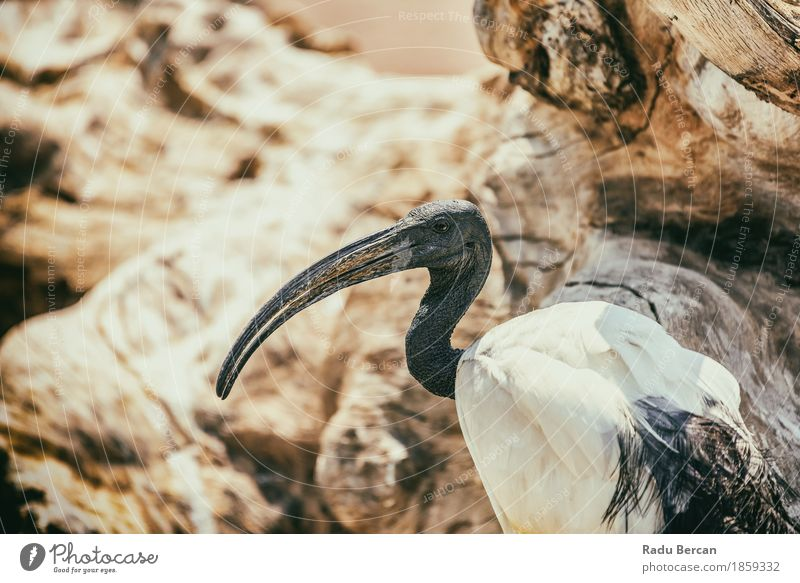 Wild African Sacred Ibis Bird Nature Animal Wild animal Animal face 1 Observe Exotic Long Curiosity Orange Black White Colour Feather Egypt tanzania Beak