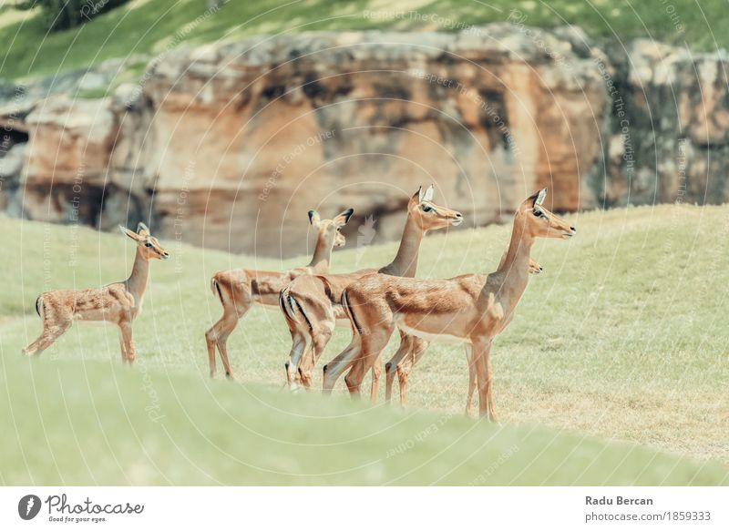 African Impala (Aepyceros Melampus) Antelope Nature Green Animal Environment Natural Brown Wild Wild animal Group of animals Mammal Deer Safari Pack Buck