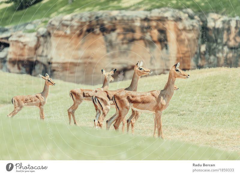 African Impala (Aepyceros Melampus) Antelope Safari Environment Nature Animal Wild animal 4 Group of animals Pack Animal family Natural Brown Green impala