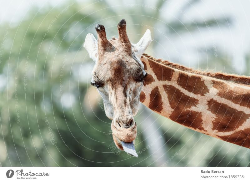Northern Giraffe (Giraffa Camelopardalis) Portrait Nature Colour Summer Green White Animal Environment Funny Happy Brown Orange Wild Wild animal Happiness Cute