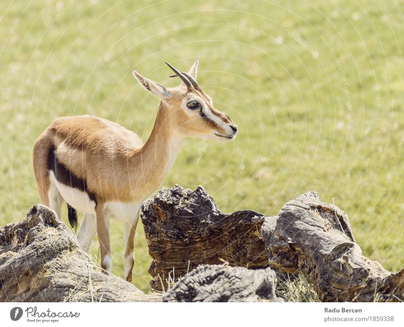 African Thomson's Gazelle (Eudorcas Thomsonii) Nature Green Animal Baby animal Environment Grass Brown Wild Wild animal Cute Animal face Mammal Wilderness Deer