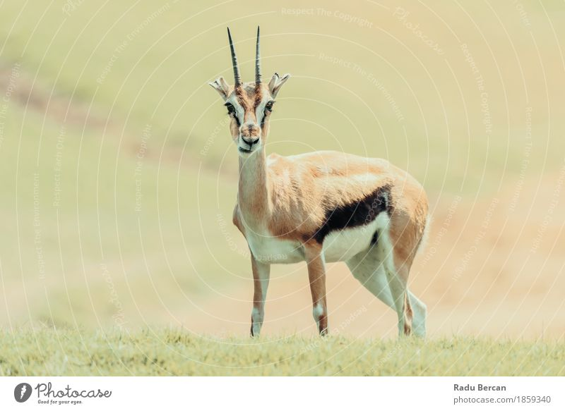 African Thomson's Gazelle (Eudorcas Thomsonii) Nature Green Landscape Animal Baby animal Grass Brown Orange Wild Wild animal Cute Animal face Mammal Wilderness