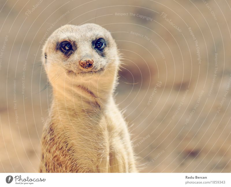 Meerkat or Suricate (Suricata Suricatta) in Africa Nature Animal Funny Natural Brown Wild Wild animal Stand Observe Cute Friendliness Animal face Mammal