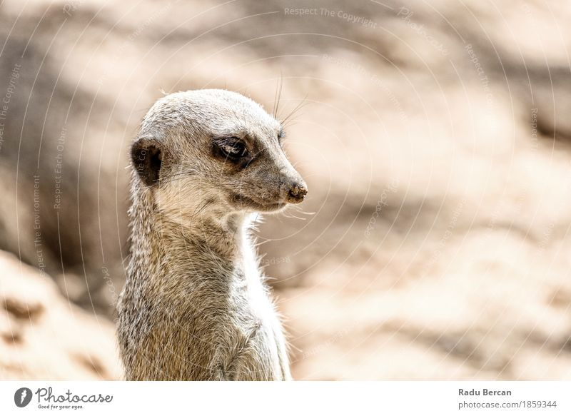 Meerkat or Suricate (Suricata Suricatta) in Africa Nature Animal Brown Wild Wild animal Stand Observe Cute Friendliness Curiosity Animal face Mammal Wilderness