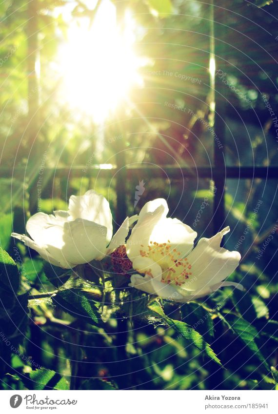Shine, shine [Happy B-Day Photocase] Nature Plant Sun Spring Summer Beautiful weather Flower Bushes Rose Old Observe Blossoming Fragrance Glittering To enjoy