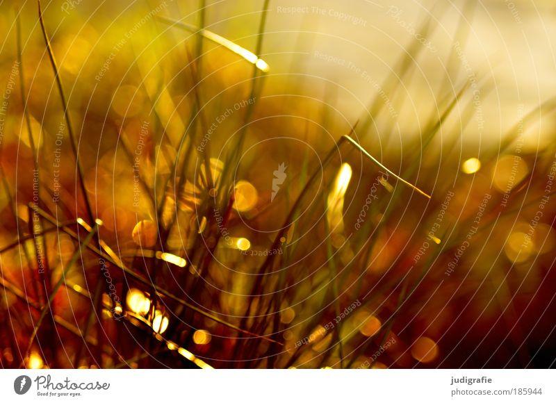Nature Sun Plant Summer Meadow Grass Warmth Glittering Environment Gold Growth Natural Idyll Illuminate Blade of grass Beautiful weather