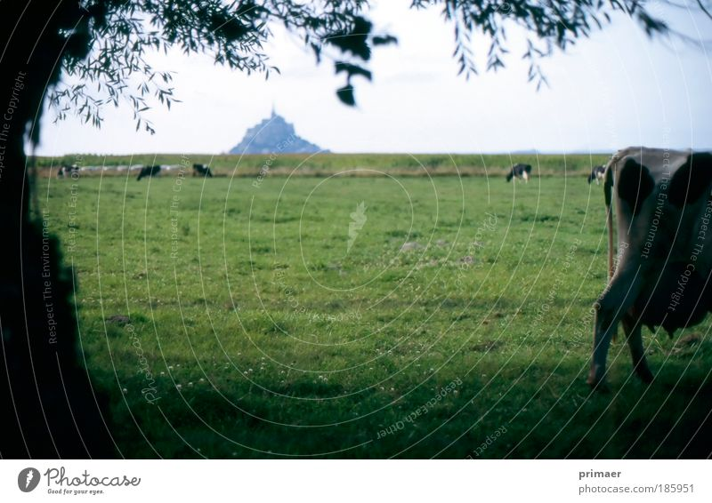 castle Vacation & Travel Tourism Trip Far-off places Summer Nature Landscape Meadow Animal Cow Relaxation Moody Wanderlust Castle Normandie Mont St Michel Cold