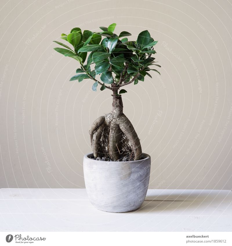 Ficus Ginseng Bonsai Leisure and hobbies Plant Tree Foliage plant Pot plant Small Bonsar ginseng retusa Fig Miniature Evergreen plants mulberry plants