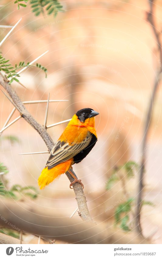 Northern Red Bishop Weaver Environment Nature Animal Bushes Leaf Branch Thorn Prickly bush Desert Wild animal Bird Animal face Wing Claw Zoo 1 Exotic Small Cute