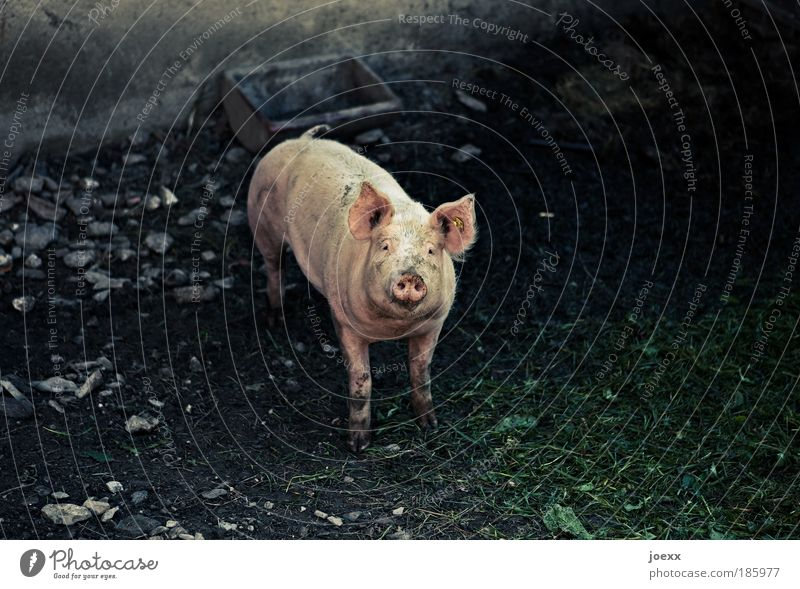Loneliness Animal Happy Pink Poverty Success Friendliness Symbols and metaphors Looking Desire Feeding Congratulations Utilize Farm animal Salutation Communicate
