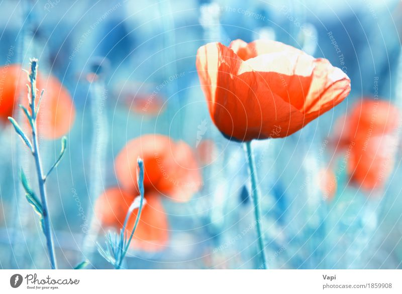 Field of poppies- red flowers on the grass Design Summer Garden Art Nature Landscape Plant Flower Grass Leaf Blossom Park Meadow Growth Fresh Natural Wild Soft