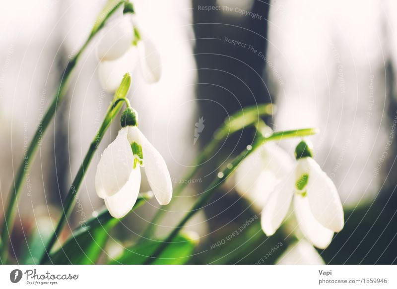 Spring snowdrop flowers Life Winter Snow Garden Group Environment Nature Landscape Plant Sunlight Flower Grass Leaf Blossom Wild plant Park Meadow Forest