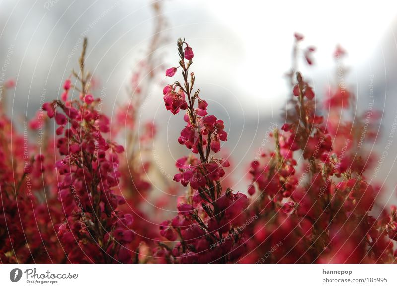 bell ring2 Plant Autumn Blossom Esthetic Fragrance Beautiful Pink Red Nature Colour photo Close-up Day