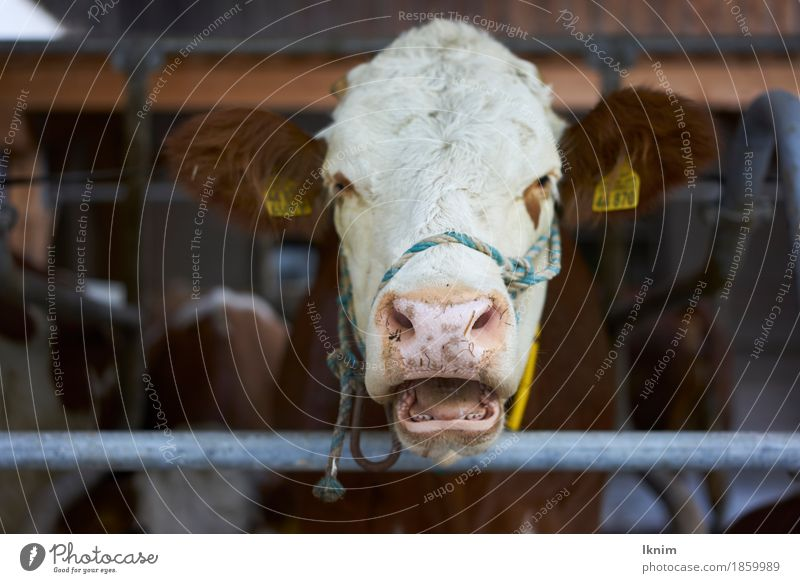 plaintive cow Farm animal Cow 1 Animal Illness Pain Fear Perturbed Aggravation Animosity Deplorable Keeping of animals Intensive stock rearing Cowshed Rural