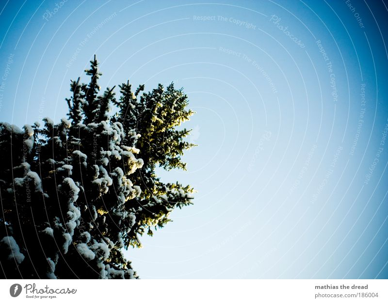oh fir tree Environment Nature Plant Cloudless sky Winter Beautiful weather Snow Tree Mountain Coniferous trees Fir tree Christmas tree White Cold Frozen Tall