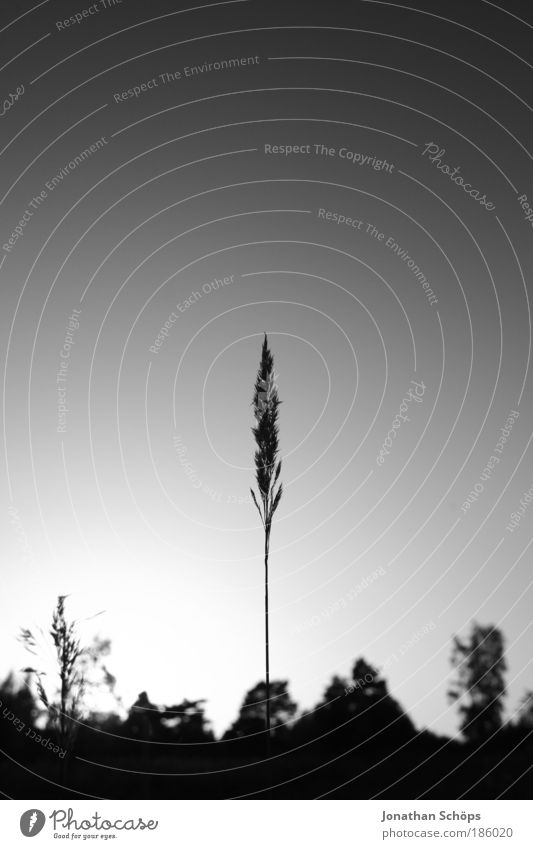 Sky Nature Landscape Environment Above Esthetic Individual Point Middle Grain Long Thin Upward Blade of grass Cloudless sky Vertical