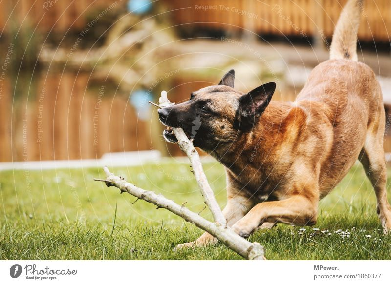 player Water Animal Pet Dog 1 Playing Aggression Athletic Shepherd dog Branch Meadow Pelt Friendship Colour photo Exterior shot Day Shallow depth of field