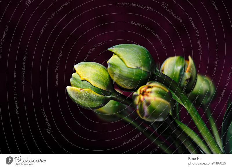 Flower Green Plant Black Style Elegant Esthetic Joie de vivre (Vitality) Luxury Blossom Copy Space Tulip Safety (feeling of) Bud Bulb flowers Anticipation
