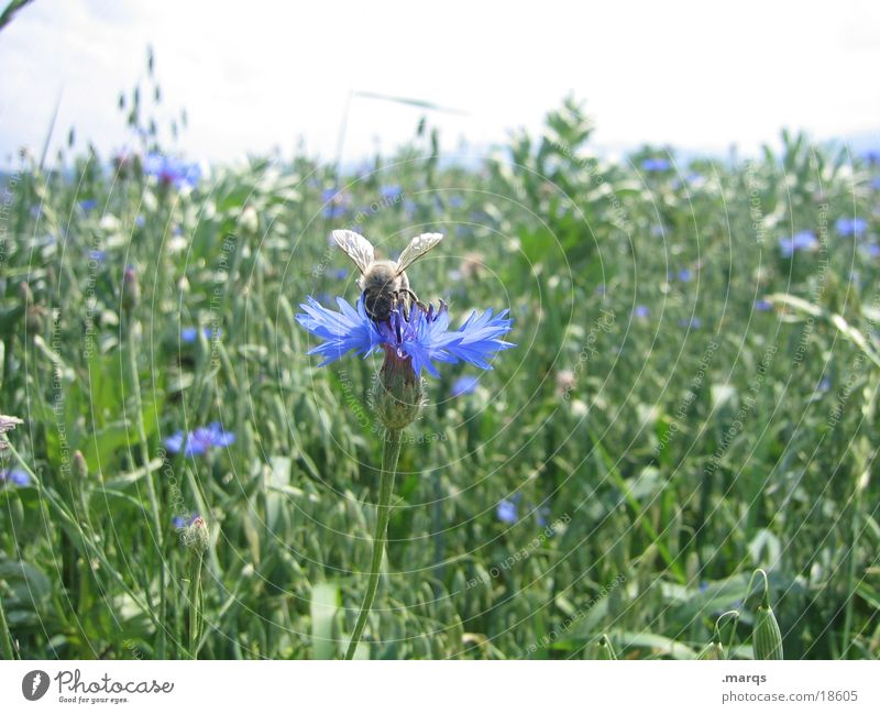 Bee and flower Summer Nature Animal Flower Meadow Field Transport Blue Green Clarify Sprinkle wild meadow marqs Colour photo
