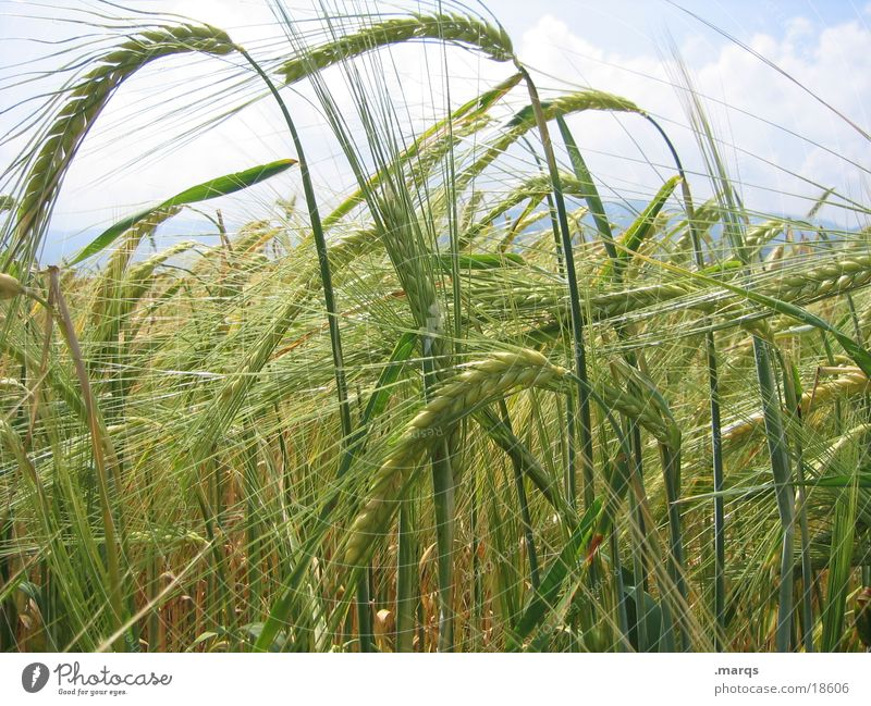 barley field Yellow Field Barley Meadow Growth Mature Agriculture Summer Nature Blossoming Grain Extend marqs