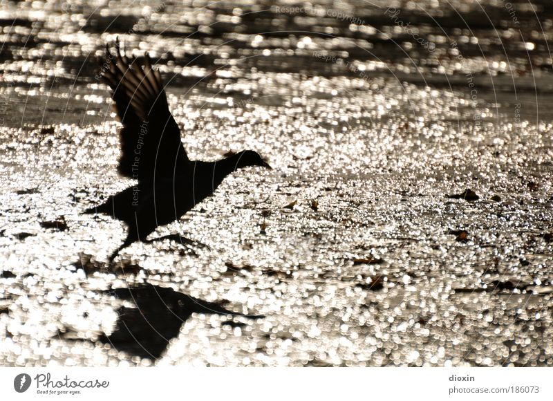 departure Water Sunlight Park Pond Lake Brook River Animal Wild animal Bird Wing 1 Flying Elegant Free Speed Gold Black Determination Nature Moorhen Feather