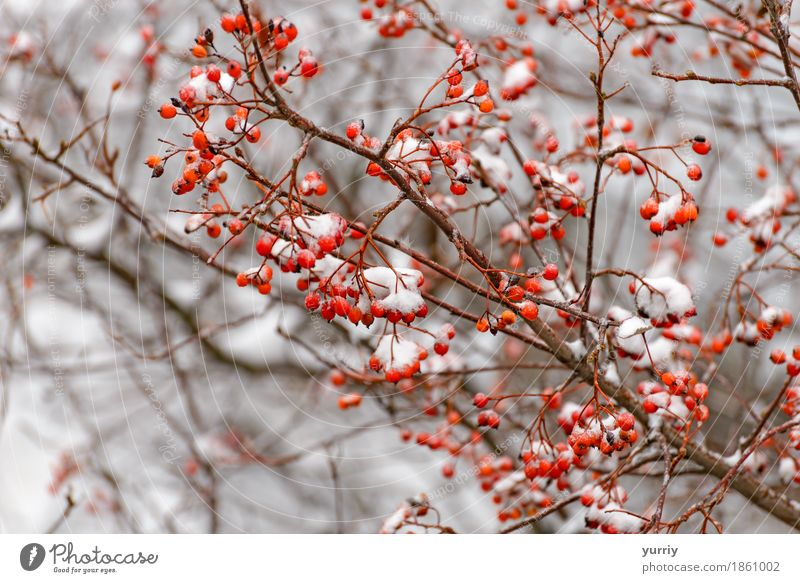 Rowan branch in the snow Fruit Winter Snow Nature Plant Tree Forest Red White rowan ashberry background Frost Beauty Photography Berries Ashes cold branches ice