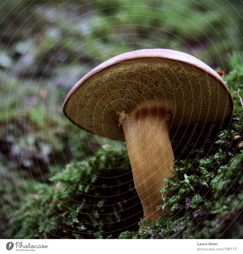 A beautiful mushroom, a fine mushroom... Nature Weather Moss Wild plant Lamella Stalk Growth Delicious Strong Brown fast-growing Colour photo Exterior shot Day