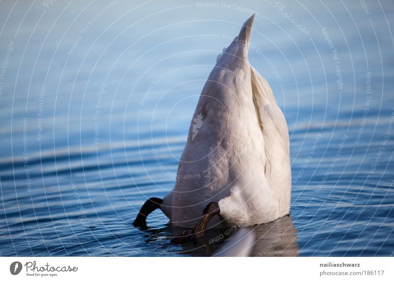 Submerged Environment Nature Animal Water Autumn Lake Wild animal Swan 1 Dive Blue Gray Silver Contentment Colour photo Subdued colour Exterior shot Deserted