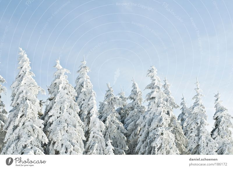 White Tree Blue Winter Forest Snow Ice Frost Nature Fir tree Winter vacation Cloudless sky Winter mood