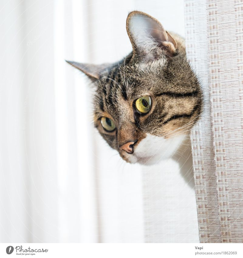 Gray striped and curiously looking cat Animal Window Pelt Hair Pet Cat Animal face 1 Stripe Sit Small Funny Cute Brown Yellow Black White Kitten Strange