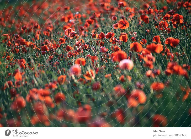 Nature Plant Landscape Red Environment Warmth Blossom Illuminate Field Growth Idyll Many Poppy Summery Agricultural crop Wild plant