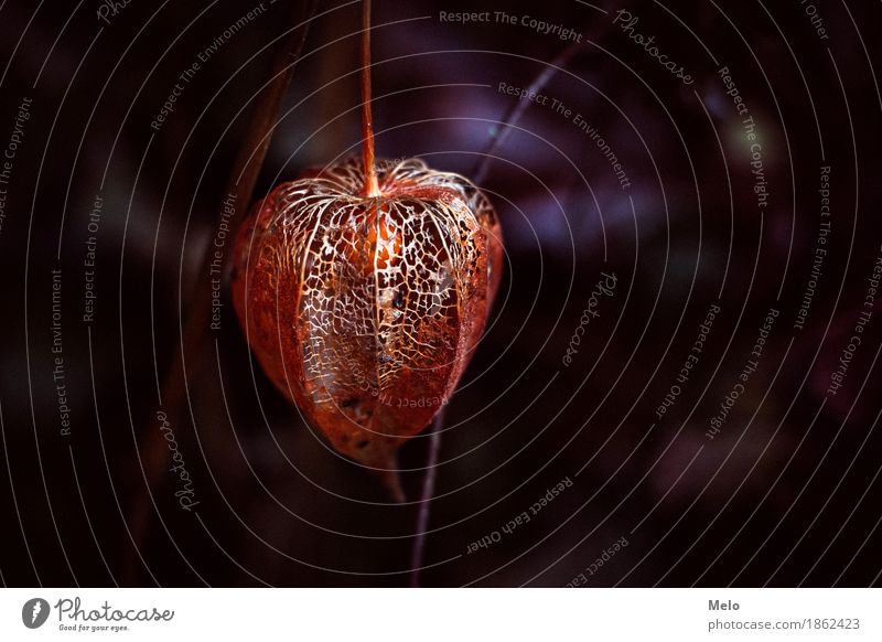 Physalis II Environment Nature Plant Animal Autumn Winter Flower Leaf Blossom Foliage plant Agricultural crop Garden Park Elegant Glittering Beautiful Warmth