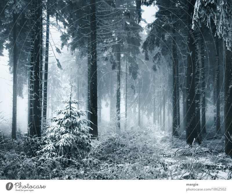 struggle for survival Fog Ice Frost Snow Snowfall Plant Tree Agricultural crop Forest Blue Silver Fir tree Fir needle Fir branch Coniferous forest Spruce forest