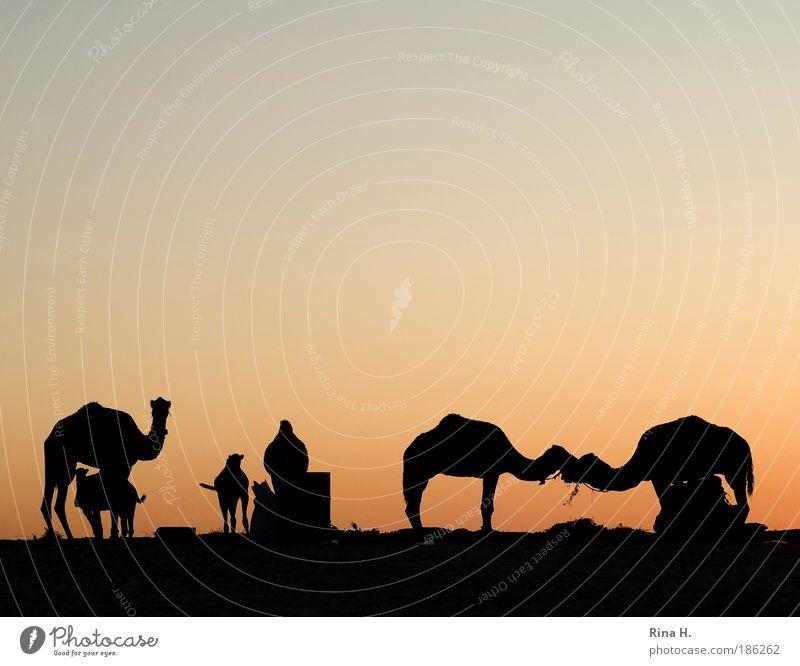 desert love Vacation & Travel Tourism Trip Adventure Safari Expedition Sunrise Sunset Desert Oasis Camel Dromedary Group of animals Kissing Esthetic Authentic