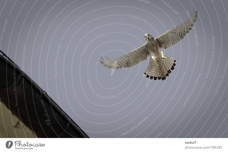 slipped Animal Wild animal Bird Falcon 1 Freedom Ease Nature Precision Environment Glide Hover Flying Warmth Bird of prey Weightlessness Deserted Copy Space top
