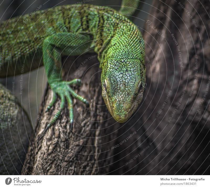 Lizard on tree trunk Nature Animal Sunlight Climate Plant Tree Wild animal Animal face Scales Claw Saurians 1 Wood Observe Crawl Looking Exotic Near Natural