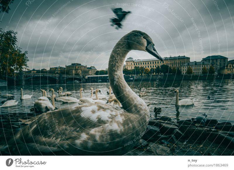 swans Water Storm clouds Autumn Bad weather River bank The Moldau Prague Czech Republic Europe Town Capital city Old town Bridge Pigeon Wing Swan
