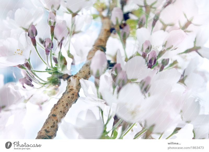 Branch with white cherry blossoms Spring Ornamental cherry Blossom Bud spring cherry Nature flowering twig Twig Blossoming Spring fever White Anticipation