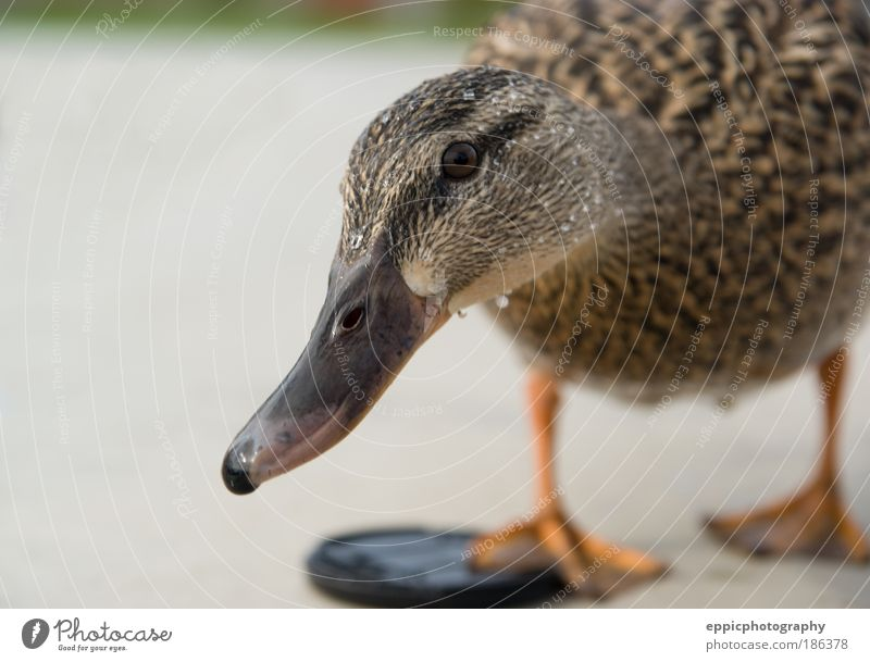 Curious Duck Animal Bird Yellow Curiosity Interest duck Feather Mallard outdoor pose posing Duck birds Colour photo Exterior shot Close-up Deserted