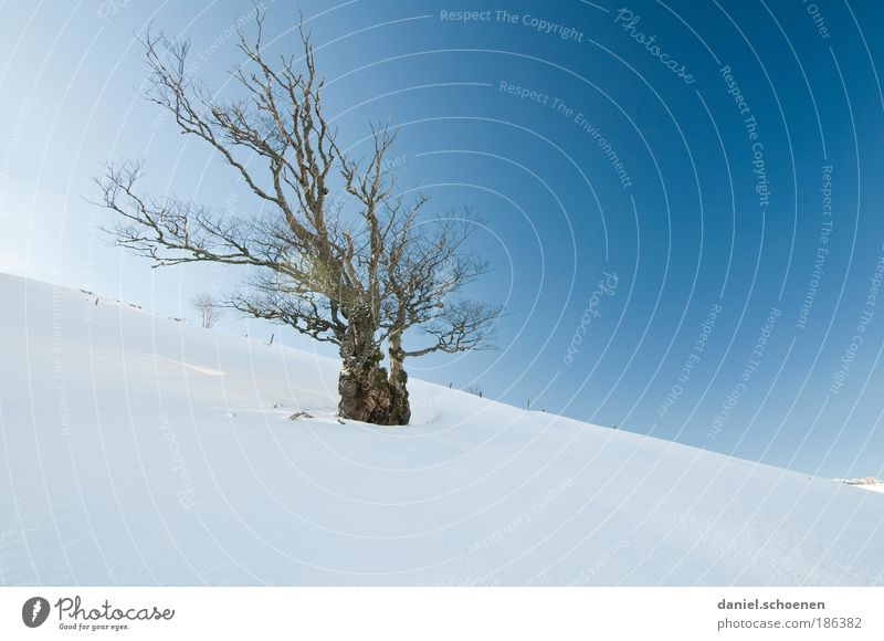 Nature Old White Tree Blue Winter Snow Wind Environment Plant Esthetic Climate Exceptional Beautiful weather Bizarre Climate change