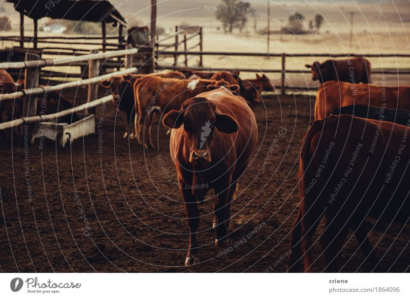 Brown Jersey Cow standing in corral Nature Animal Group Stand Pasture Farm Fence Delightful Meat Rural Wilderness Country life Cattle Domestic Breed